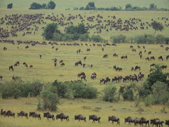 Wildebeest roaming the Serengeti
