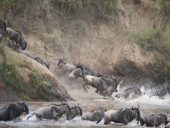 Wildebeest migration at Governors Camp