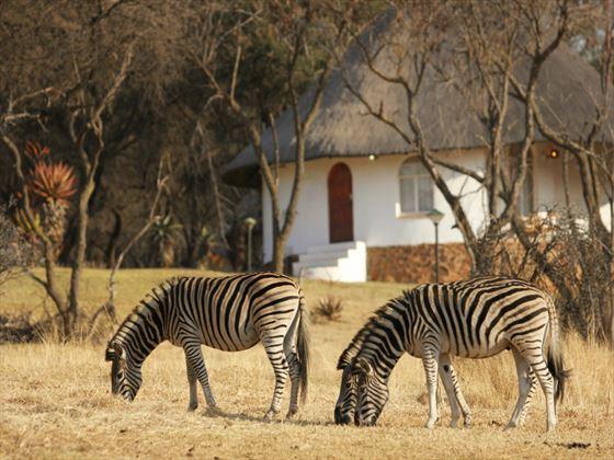 Zebra at Johannesburg