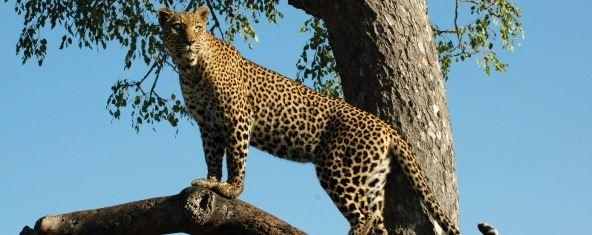 Mike Collins leopard