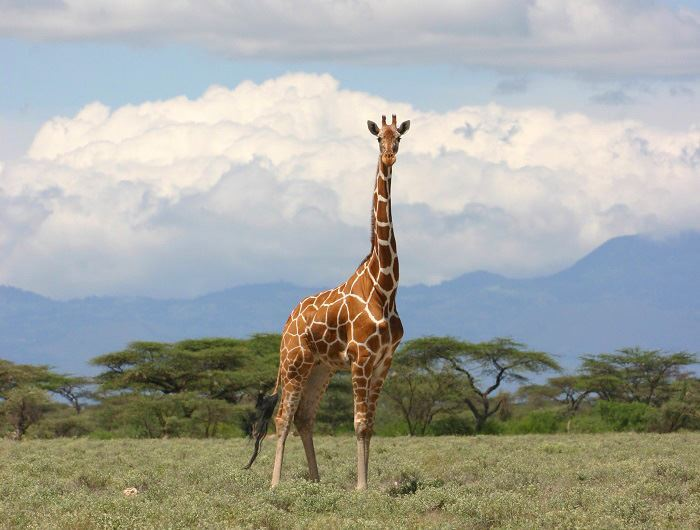 Giraffe in Kenya - Jenn O'Neill