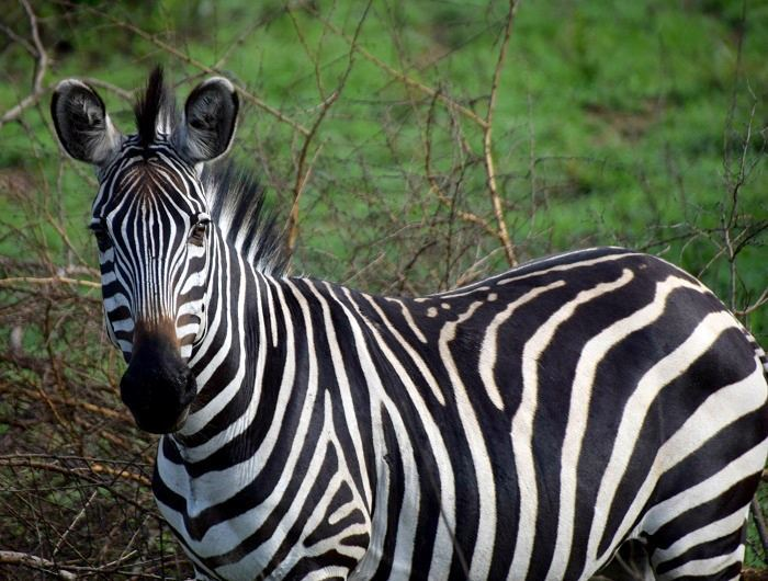 Mike Collins zebra in Uganda