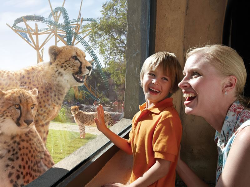 Check out the Cheetahs at Busch Gardens, Tampa