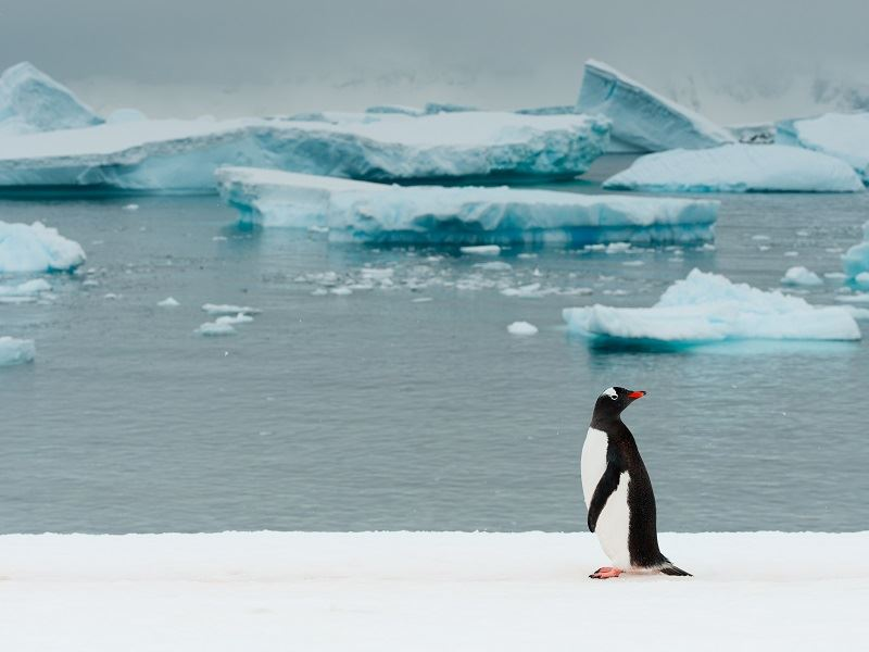 Gentoo on Ice Cunverville Island Antarctic Penisula greg mortimer