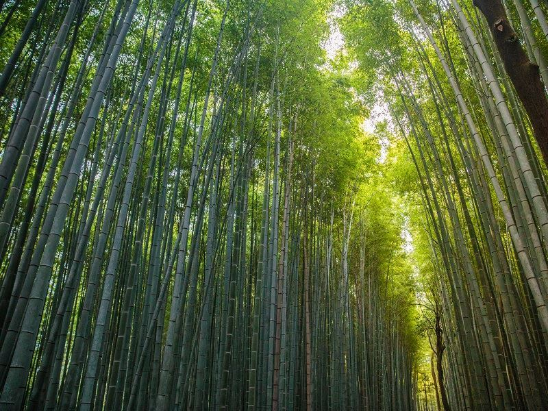 Intrepid Travel japan kyoto arashiyama bamboo grove