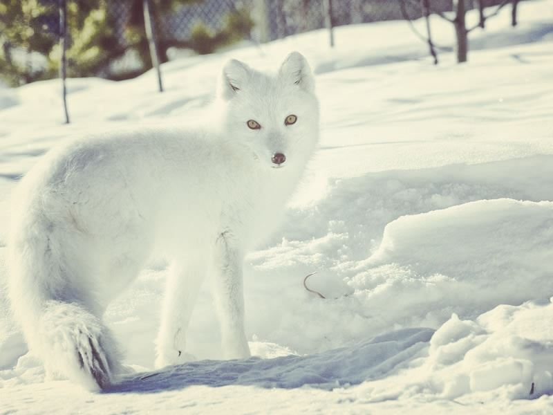 arctic fox in yukon wildlife preserve