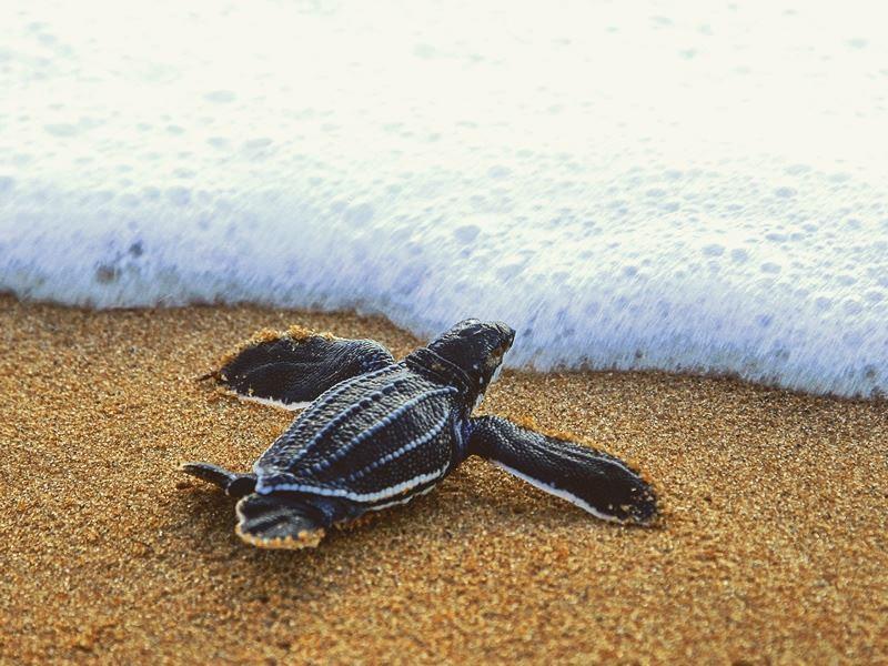 Baby turtle heads into the Caribbean Sea