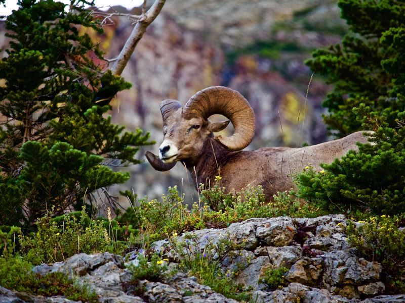 bighorn ram glacier national park montana