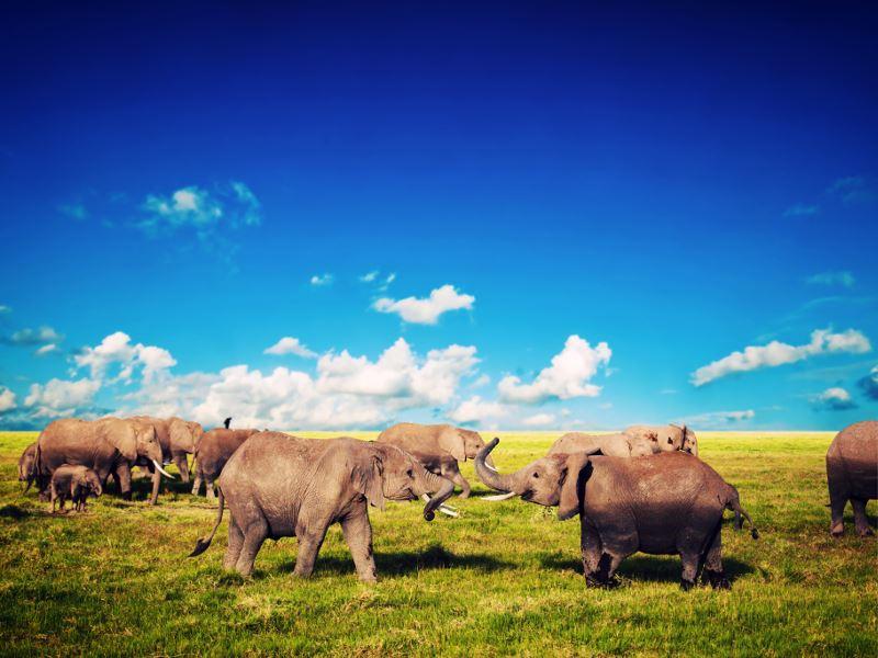 Elephants on savannah at Amboseli National Park