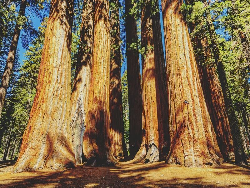 The giants of Sequoia National Park