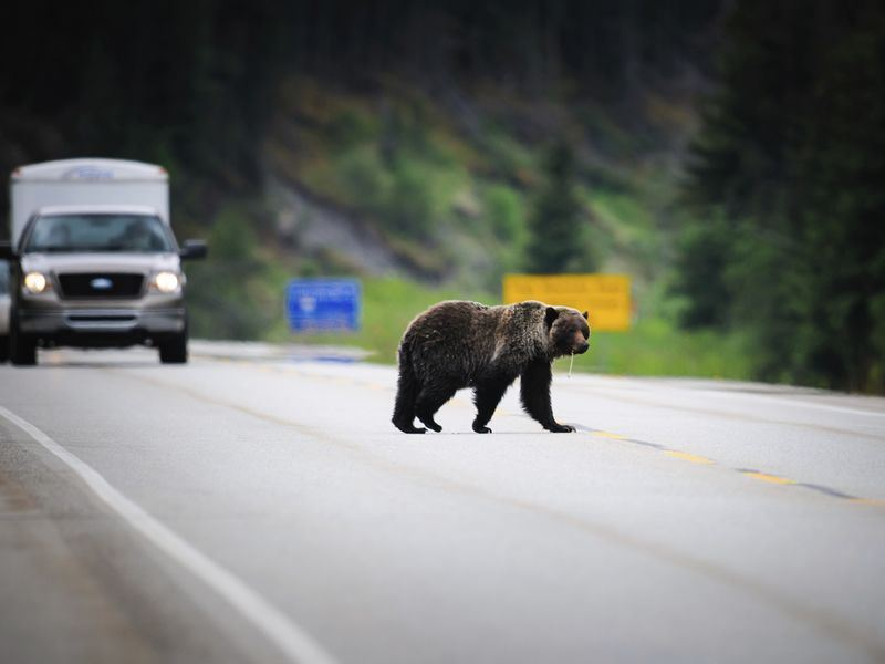 grizzly bear in alberta on yellowhead highway