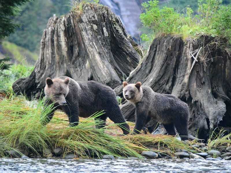 Grizzly cubs at Spirit Bear Lodge, British Columbia