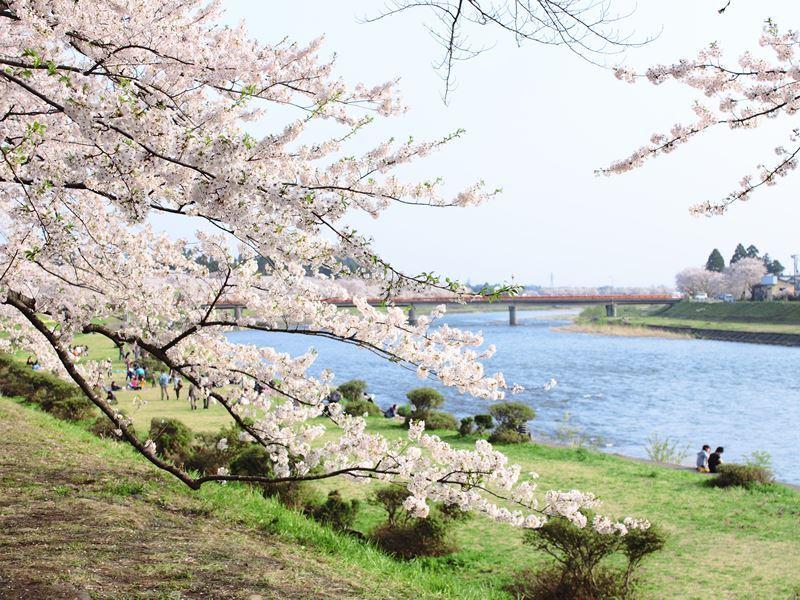 kakunodate cherry blossom