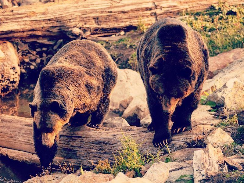 orphaned bears of grouse mountain