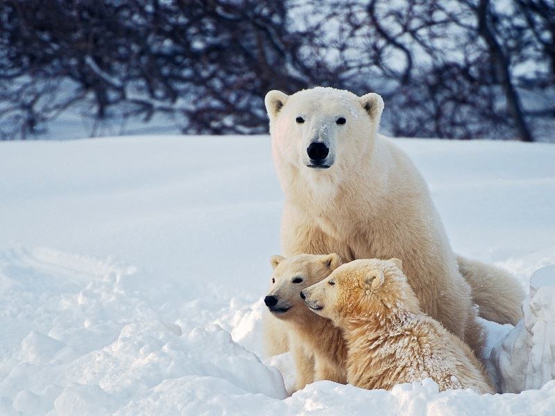 polar bear family montana