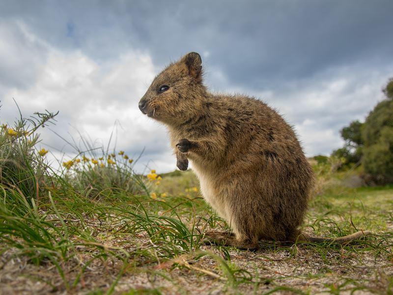 Quokka of Rottnest Island