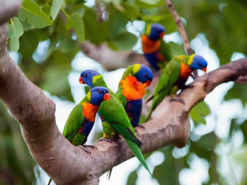 rainbow lorikeets thala beach nature reserve queensland australia