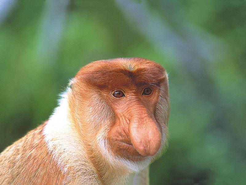 sabah kinabatangan river proboscis monkey