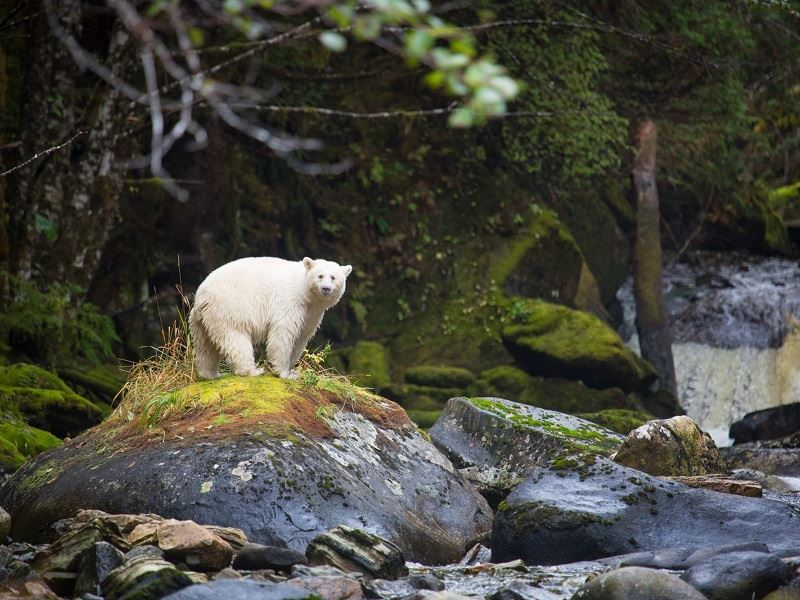 spirit bear 2i4a1183 by cael cook