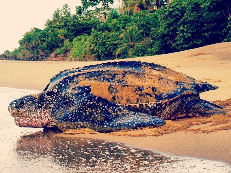 the amazing turtles of tobago