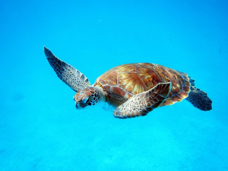 turtle in barbados