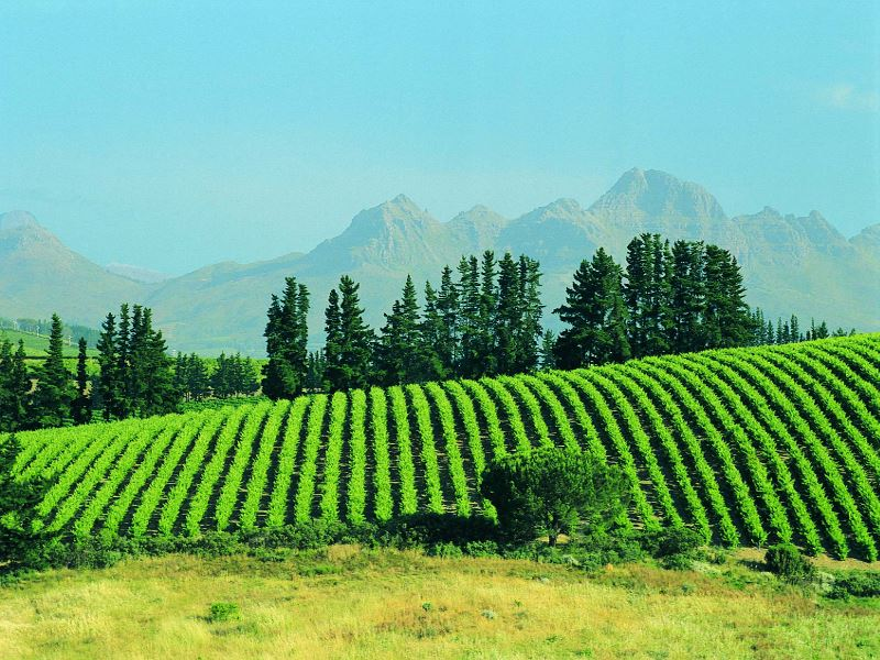 vineyard stellenbosch south africa