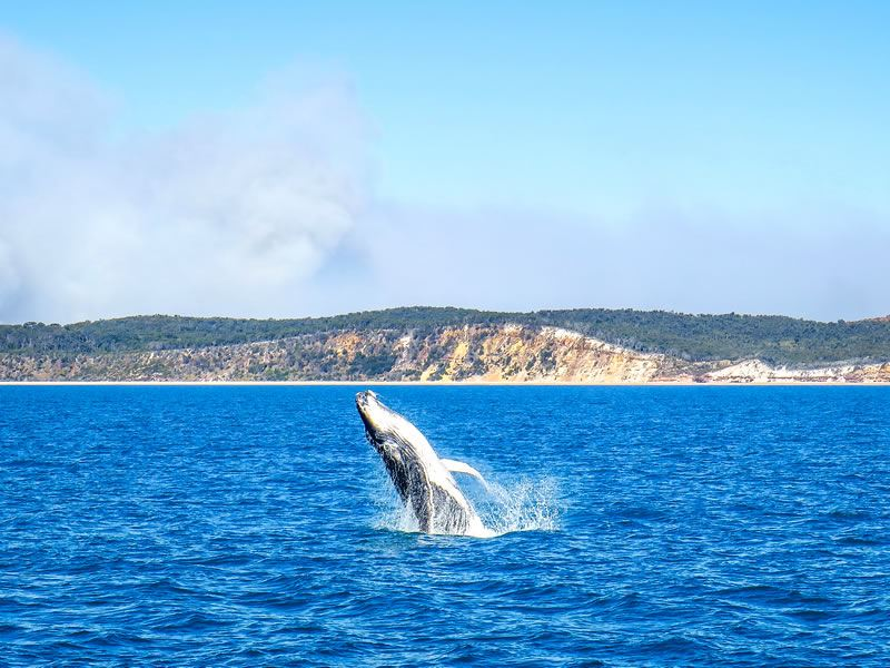 whales cruise hervey bay