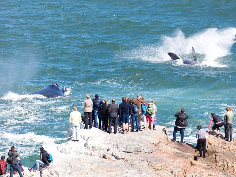 whales near hermanus south africa