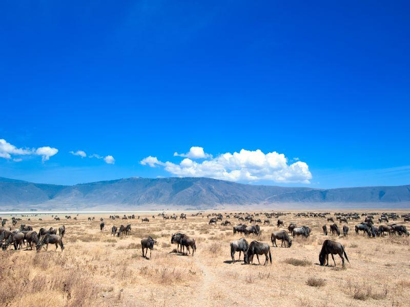 wildebeest herd in tanzania