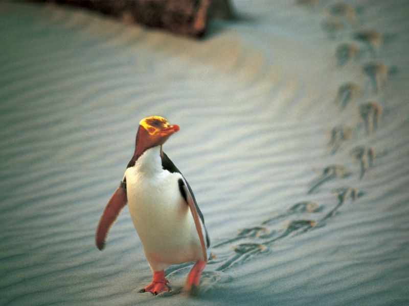 yellow eyed penguin dunedin 2